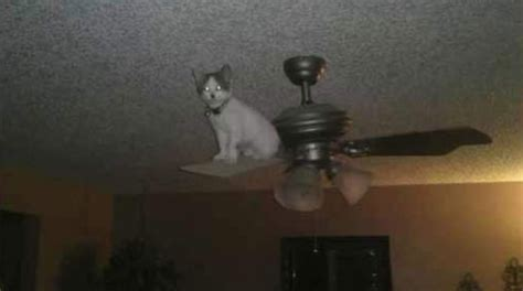 Cat In Ceiling Fan by Hilarious Pictures Of Cats Hanging Out In The Most Random