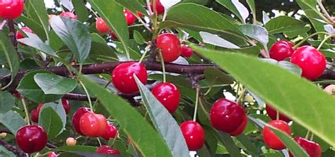 pesticides for fruit trees bugvibes cherry grow cherries organically without bird