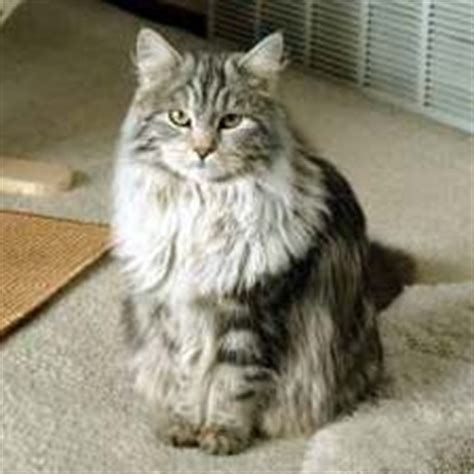 siberian cats are hypoallergenic without being bald i