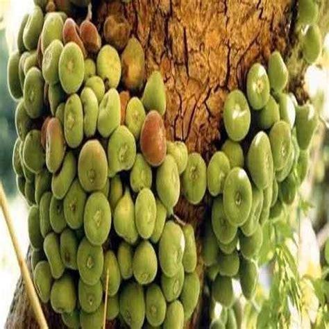 athi fruit tree fresh fruit athi pazham manufacturer from tiruppur