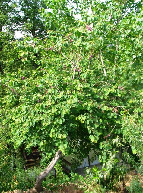 European Home Design judasboom cercis siliquastrum judas tree dutch treeguide
