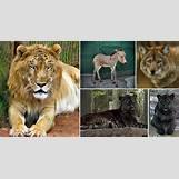 Half Lion Half Tiger Art | 799 x 425 jpeg 71kB