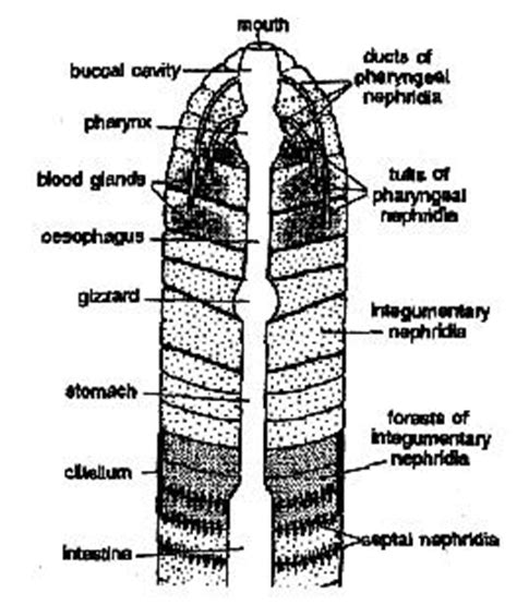 earthworm diagram nephridia earthworm excretory system assignment help earthworm
