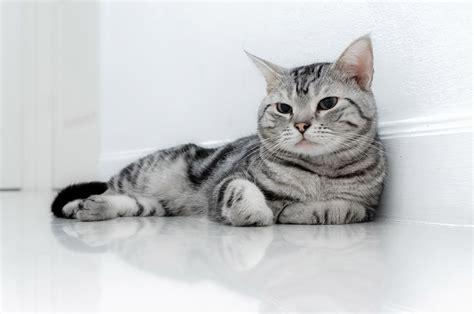 gatto da appartamento razza le 4 migliori razze di gatti da appartamento gatti