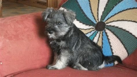 schnauzer puppies for sale miniature schnauzer puppies for sale blairgowrie perthshire pets4homes