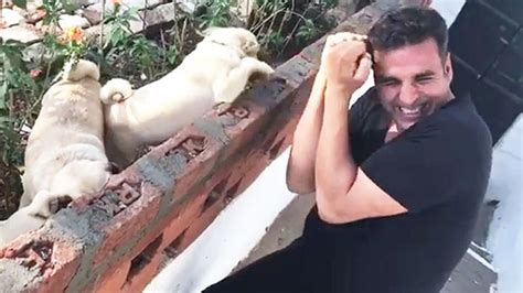 pugs boxing akshay kumar boxing with a bunch of pugs will make your day oye times