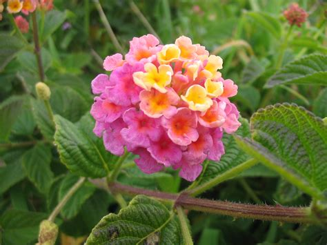 file lantana camara flower jpg
