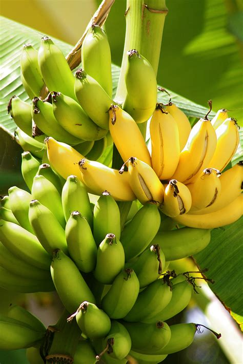 bananas on tree banana kitchen basics harvest to table