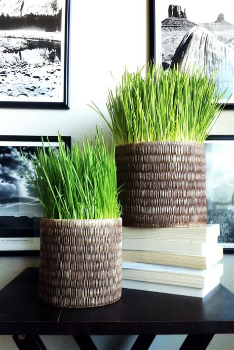 easy grow wheatgrass andrea s innovative interiors andrea s blog how to