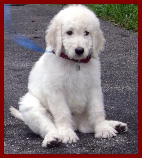 golden retriever poodle mix albus anneljohnson