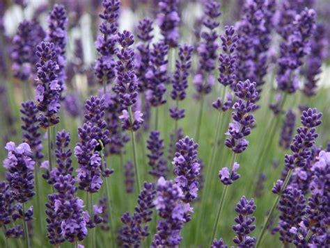 Bibit Bunga Lavender Asli bibit lavender vera true lavandula bibitbunga