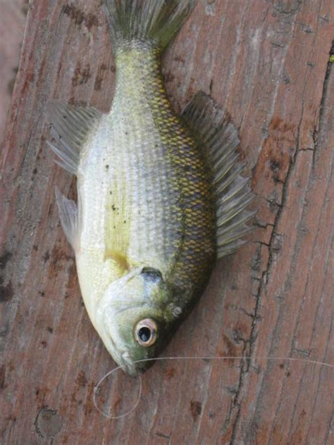 fillet a crappie how to easily fillet your bluegill crappie rock bass or
