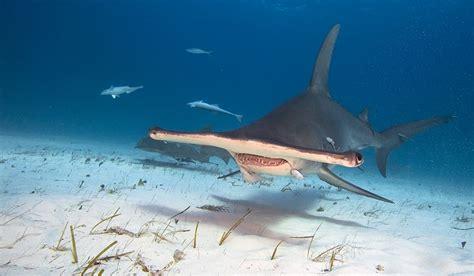 baby shark weight hammerhead shark facts animals of the ocean worldatlas com