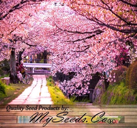 Bulk Japanese Sakura Flowering Cherry Tree Seeds Prunus Japanese Cherry Blossom Flower