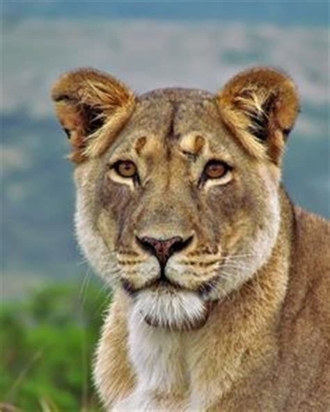 when a lioness growls a s pride books 1000 ideas about cat tattoos on