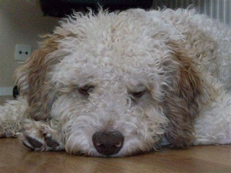 all hypoallergenic dogs living with a lagotto romagnolo the fluffy hypoallergenic breed