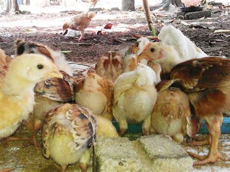 Bibit Ayam Pedaging Di Medan cara sukses ternak ayam kung yang baik berkualitas