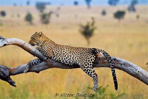 el leopardo el color basico del leopardo es el pelo