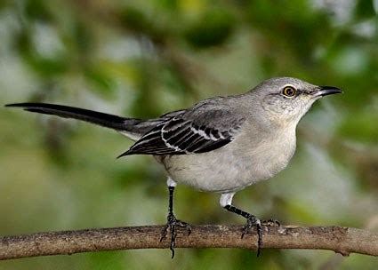 northern mockingbird identification all about birds