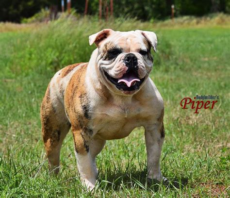blue olde bulldogge puppies for sale brindle olde bulldogge puppies for sale