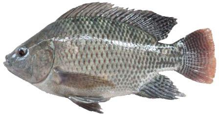 Serok Saringan Ikan 12cm minaprima teknik pembesaran ikan nila