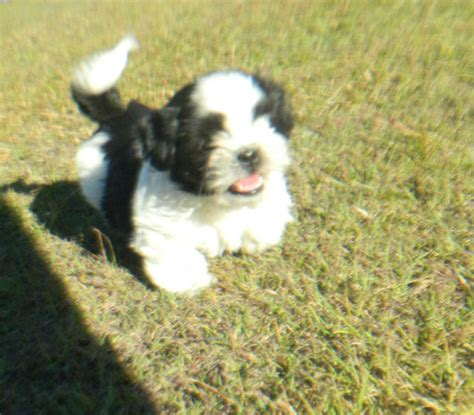 shih tzu puppies for sale vancouver island ad categories for sale miscellaneous i nelson autos post