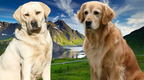 compare golden retriever and labrador retriever golden retriever vs labrador retriever assistedlivingcares