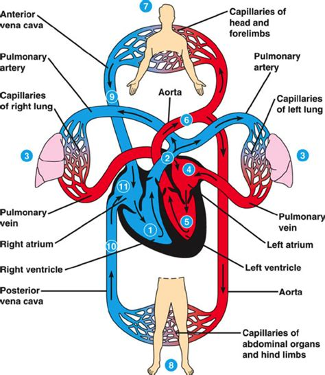 respiratory system diagram respiratory system for diagrams diagram of