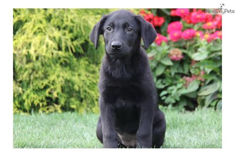 german sheprador puppies non shedding mixed breed dogs pictures of terrier mix breeds breeds picture