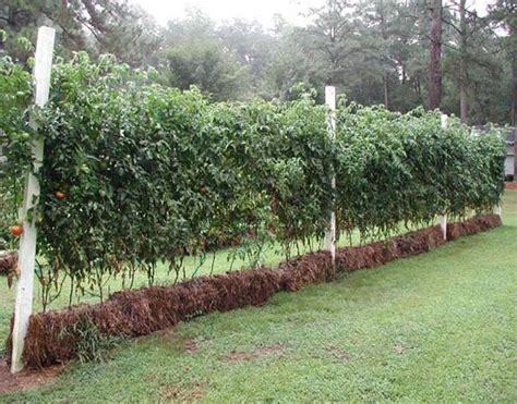 Straw Bale Gardening by Straw Bale Garden Tips Pioneer Settler
