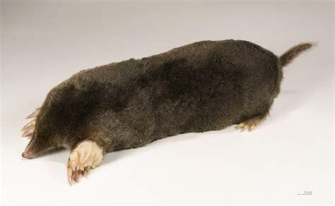 mole animal wikiwand