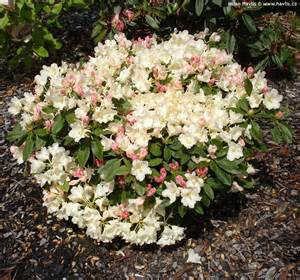 rhododendron yakushimanum golden torch havlis cz
