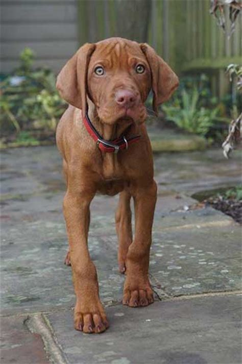 floppy ear short hair dog tips on how to train a vizsla puppy