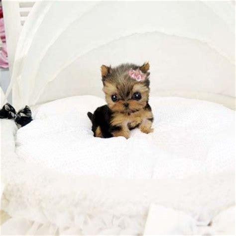how big is a grown teacup yorkie best 25 teacup yorkie ideas on yorkie teacup puppies yorkie puppies and