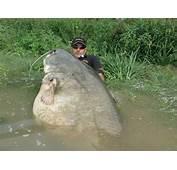 Catfish Weighing At 256lbs And Measuring 85ft Fishing  CATFISH