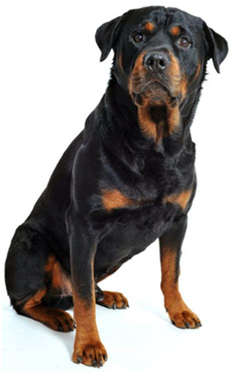 rottweiler shedding rottweiler information facts pictures and grooming