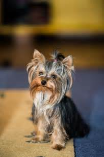 everything yorkie 352 best images about yorkie and everything on terrier haircut