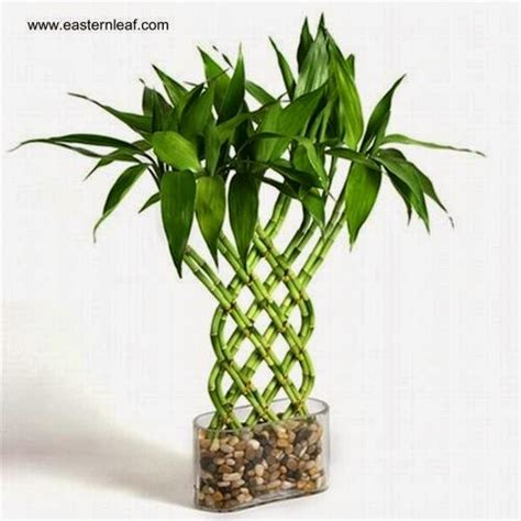Small Plants For Office Desk by Arquitectura De Casas Planta De Bamb 250 De Aspecto Ex 243 Tico