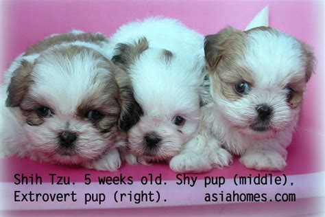 shih tzu 5 weeks 0823asingapore real estate condo advertising agency classified advert for