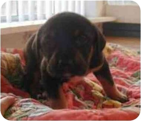 san diego rottweiler rescue adopted puppy san diego county ca vizsla rottweiler mix