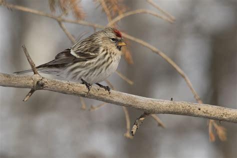 common redpoll birdwatching