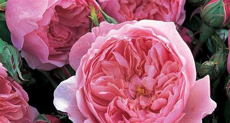 fiori in inglese inglesi piante da giardino inglesi arbusti