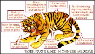 Tiger parts chinese medicine poaching and the tiger bone
