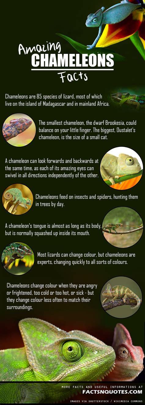 amazing  interesting chameleons facts  didnt