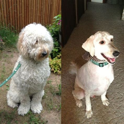 goldendoodle with puppy cut goldendoodle before after haircut d grover doodle