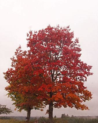 types of maple trees www pixshark com images galleries
