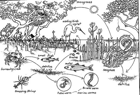 mangrove tree coloring page food chains webs mangrove forests