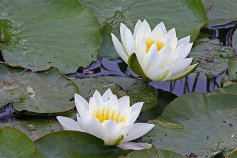 imagenes de flores acuaticas 5 plantas acu 225 ticas de aguas profundas pisos al d 237 a