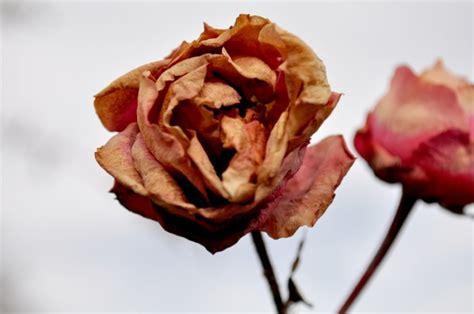 imagen de rosa seco seca rosal marchito invierno