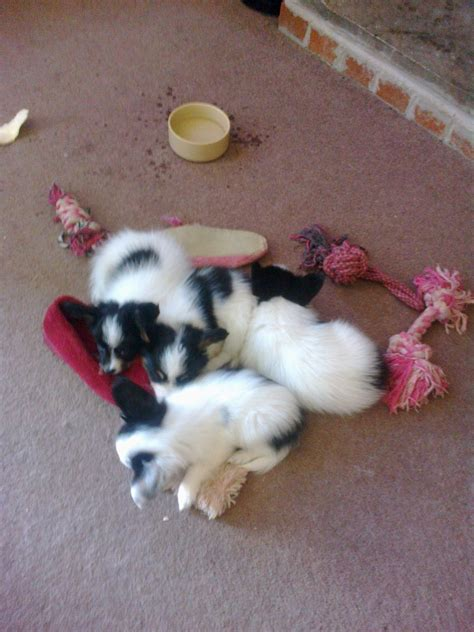 dogs for sale three papillon dogs for sale wakefield west pets4homes